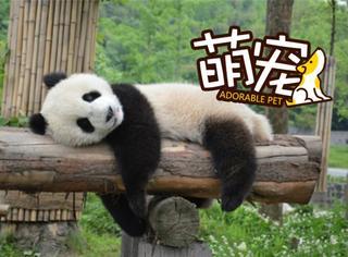 """【萌宠】熊猫萌主""""滚滚""""教你如何度过夏天"""