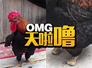 为了行走公鸡自断一足,网友:敬你是条汉子