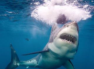人类首度拍到熟睡中的大白鲨