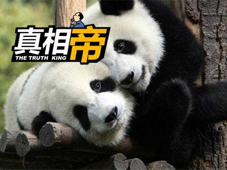 【真相帝】萌王熊猫为什么有黑眼圈