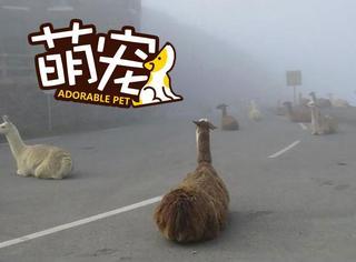 【萌宠】这群羊驼太霸道,组团占领了整个山路!