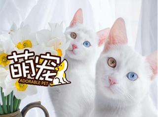 【萌宠】超高颜值喵咪Twins,魅惑到你了吗