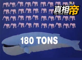 【真相帝】1只蓝鲸=44头大象,但一块面包就能噎着它