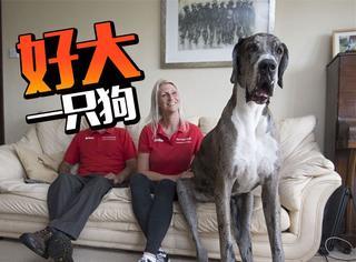 世界上最高的狗,却害怕看见自己的影子,一个外强中干典范
