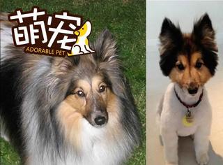 【萌宠】剪毛的狗狗有的成了逗比,有的成了名媛!