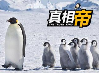 【真相帝】14种企鹅都生活在温带,它们的好基友竟是信天翁!