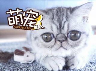 【萌宠】眼睛大过小燕子,这只喵够萌吗?