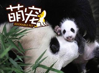 上海第一只熊猫宝宝满月 小肉团变身黑白装,萌翻了!
