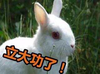 一只嗑药磕嗨的兔子,帮警察端了一个毒品窝点...立大功了