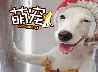 【萌宠】爱笑的狗运气不会太差,泰国萌汪因爱笑变明星汪!