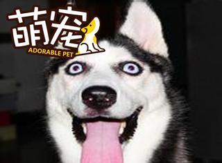 【萌宠】一大波哈士奇的蠢照来袭,怎么会有你这种狗!