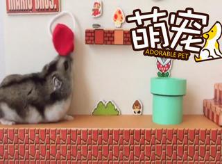 【萌宠】已萌化!网友脑洞奇开,给仓鼠建了个超级玛丽游戏间