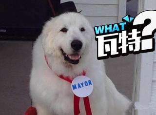 这只狗已经连任3届美国市长,比奥巴马还要老干部