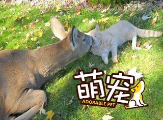 【萌宠】喵星人每天跑出去,竟是去约会鹿大人!