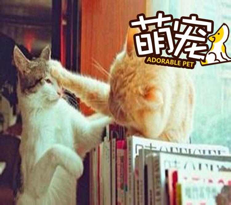 【萌宠】两喵星人打架死不承认,没想到被爪子出卖了!