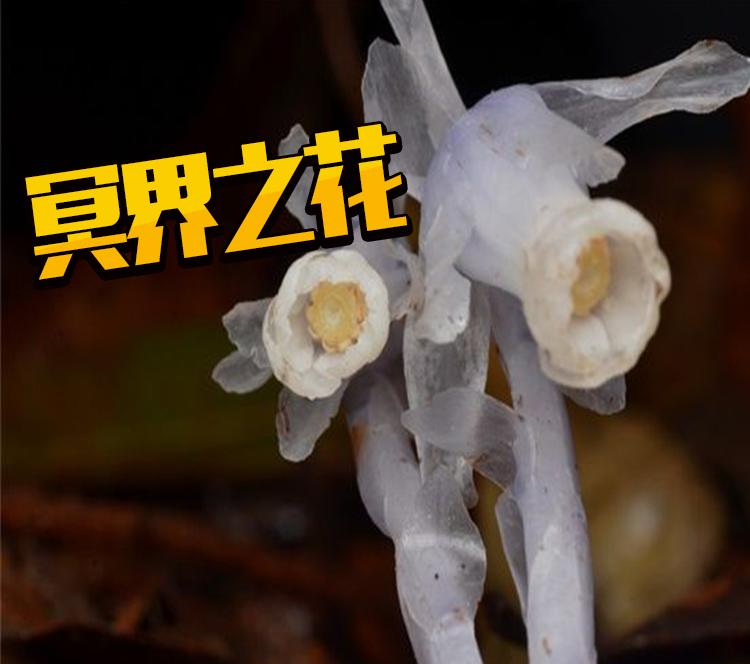 """他意外发现这水晶般的植物 竟是小说里的""""冥界之花""""?"""