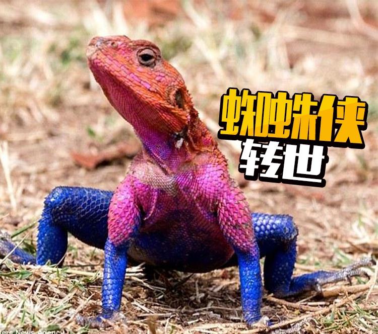 神奇!这只蜥蜴竟然撞脸蜘蛛侠