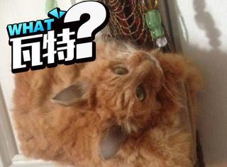 惊人!新西兰网站卖猫猫包,用真猫做的