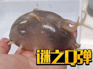 它叫海猪,超萌,也超容易狗带