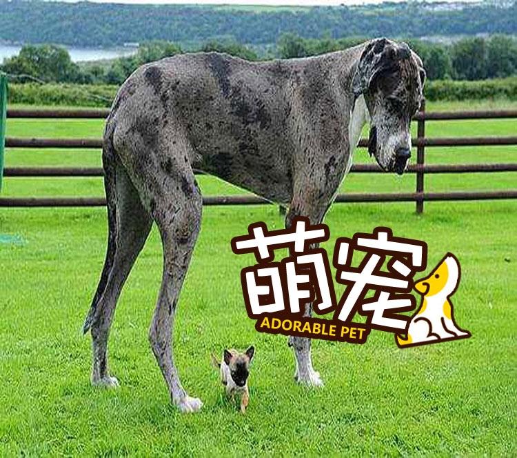 【萌宠】大丹狗和吉娃娃的最萌身高差!