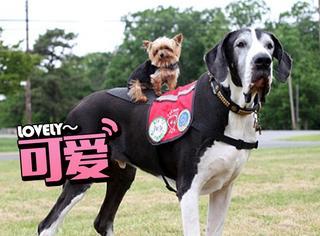 美迷你约克犬成世界最小工作犬 治愈不少病人