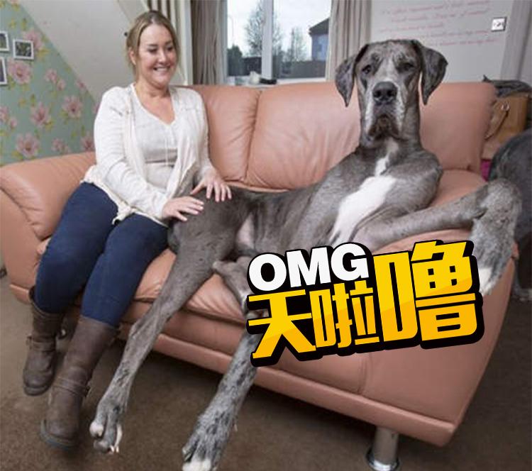 世界最大大丹犬 站起来会顶到天花板