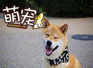 """【萌宠】柴犬:小时候是""""童星"""",长大后是""""影帝""""!"""