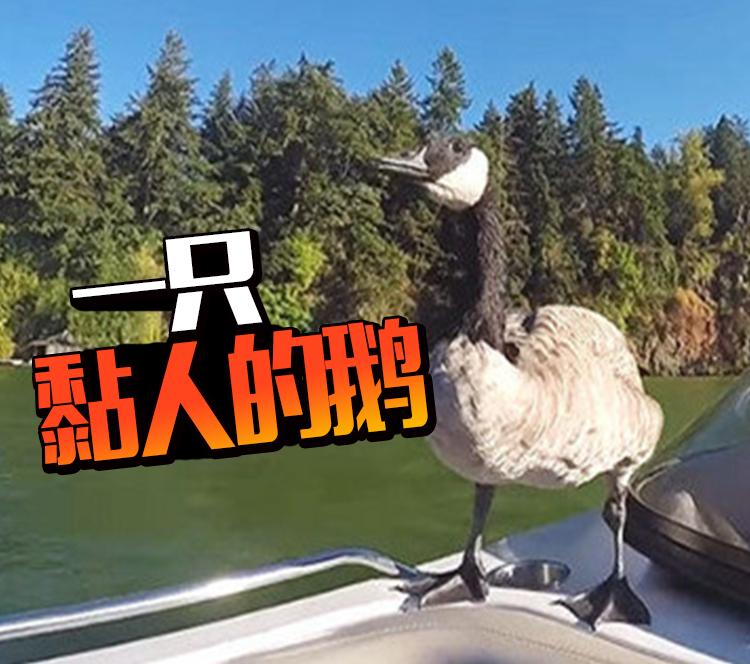 他救活一只快淹死的小鹅 从此他们在一起了