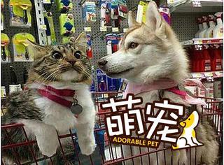【萌宠】被二哈带偏了的喵星人,已经没脸做猫了!