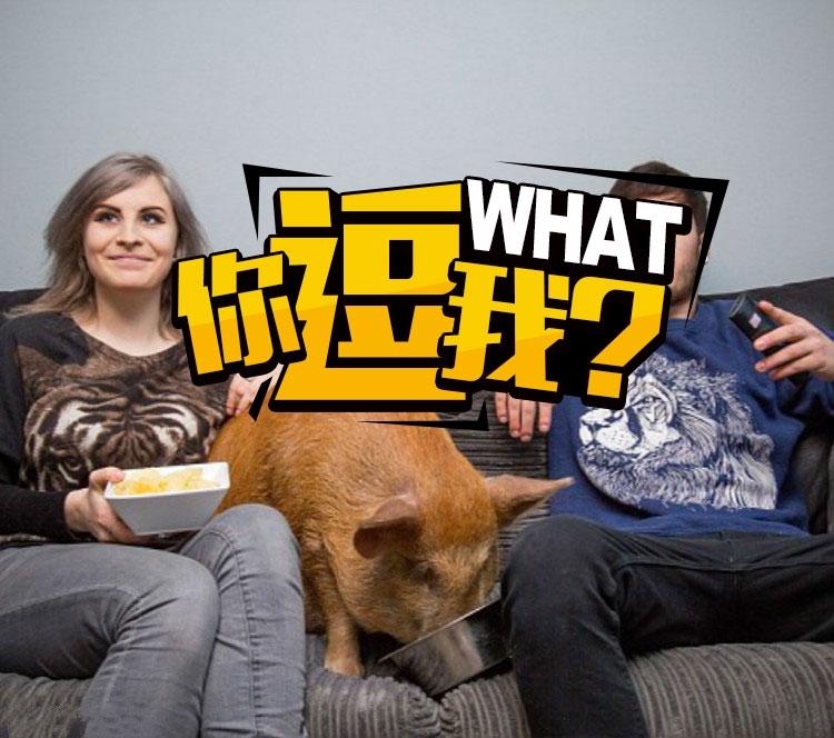 这是一只沉迷看电视的宠物猪,喜欢看《行尸走肉》