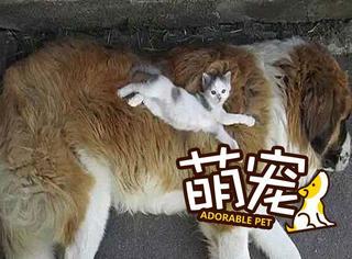 【萌宠】养了喵星人再养只狗,这样喵星人就不愁没床睡了!