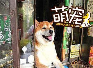 【萌宠】超会做生意的香烟店狗老板!