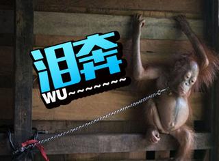只是为了陪女儿玩玩,就用铁链非法囚禁哺乳期的小猩猩!