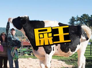 每天拉屎超过一百斤,这头牛不简单
