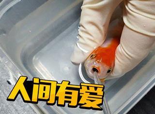 500美元一场急救手术,给一条金鱼