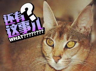 【Holy Sh*t】最贵的宠物猫23400美元一只!尿够半分钟,通话2小时?
