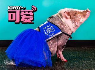 这是一只有故事的猪,每天都在机场逗你笑