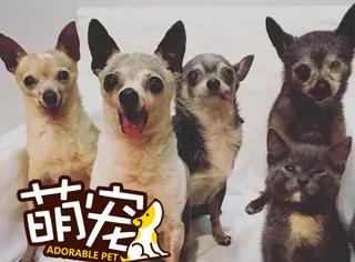 【萌宠】四只吉娃娃领养一只小奶猫,画风迷之和谐