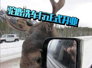 加拿大特有的驼鹿舔车服务,要会下雪的国家才懂为什么!