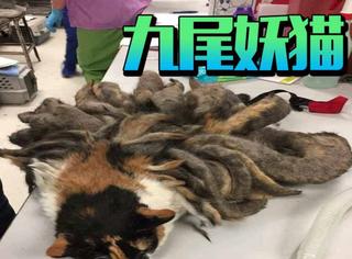 被1公斤重毛发淹没的猫咪,像极了九尾妖怪!令人心酸的背后