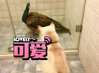 网友不小心捡了只孔雀回家,家里的狗狗反应超萌