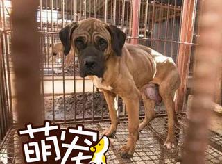 【萌宠】它本在狗肉厂,成为盘中餐是他的一生