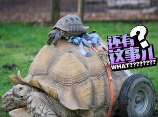 这只乌龟装了俩大轮子代步,而原因说出来真是尴尬