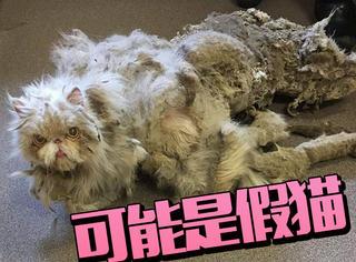 身上毛有2公斤,这可能是只假猫...