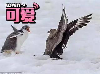 """摄影师拍下企鹅崽怒怼天敌,网友""""不充Q币别烦我"""""""