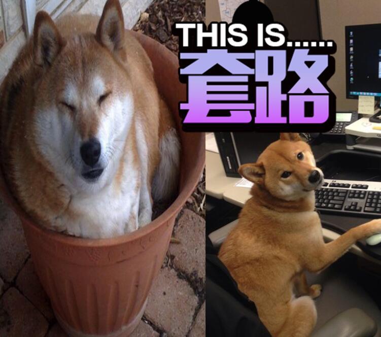 柴犬其实比猫咪还要奇怪!
