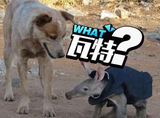 本以为它是迷你猪,但再仔细一看身体…怎么那么像袋鼠?