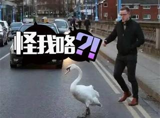 英国小哥帮助了一只迷路天鹅,然而却被嫌弃了