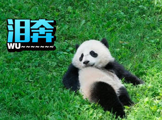 美国人民现在有点伤心,因为熊猫宝宝要回中国了