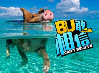 巴哈马著名猪岛,如今这里成为了猪仔们的坟场 